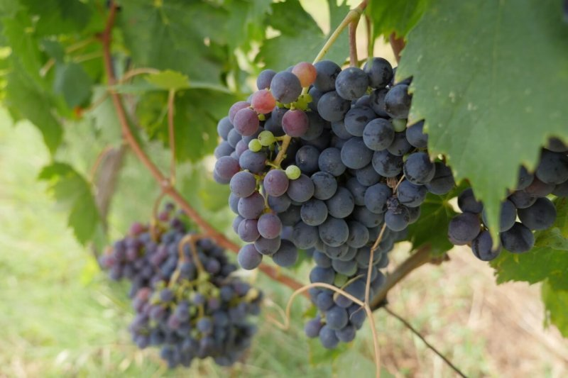 Grappes de raisins - Fattoi - Pauline&Olivier
