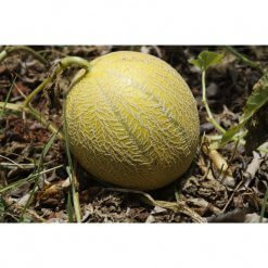 Melon bio - Meloncello Bio - Dolce Cilento