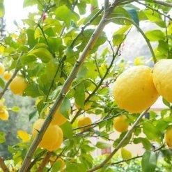 citrons - Dolce Cilento - Pauline&Olivier