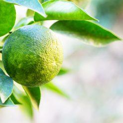 Limonade Mandarino Verde - Pauline&Olivier